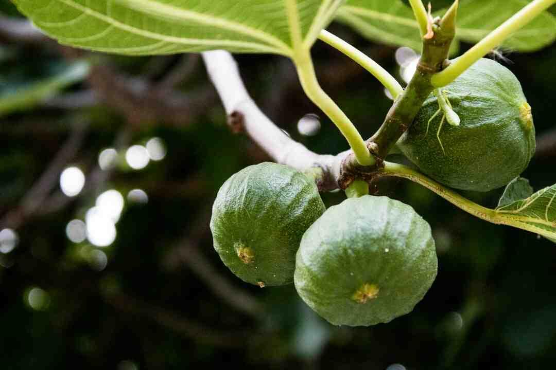 Comment faire sécher des figues