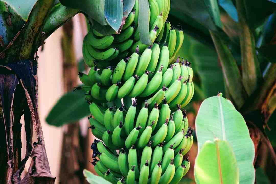 Comment faire murir des bananes rapidement