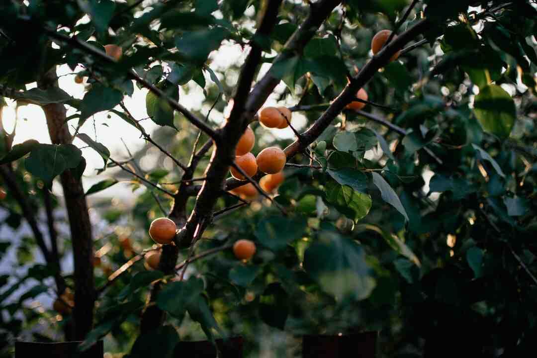 Comment faire sécher des abricots