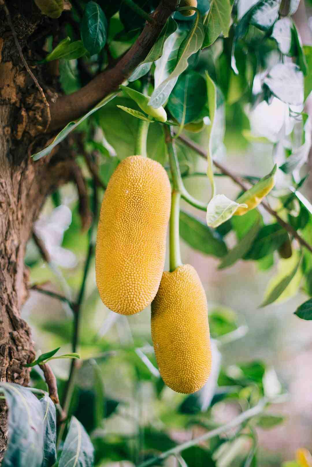 Comment manger un fruit du jacquier